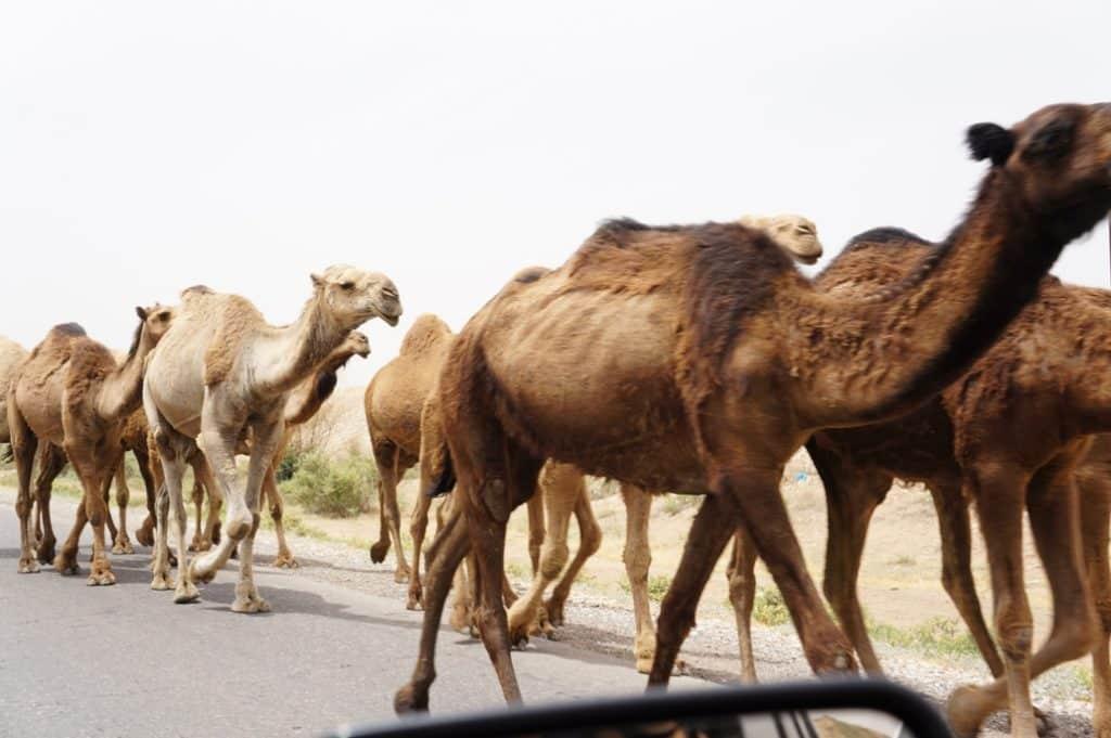 jediní velbloudi v Íránu, které jsem v Íránu viděl